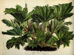 Nalca, alimento y medicina originaria