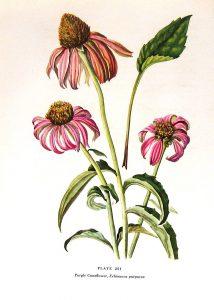Ehinacea, antibiótico vegetal