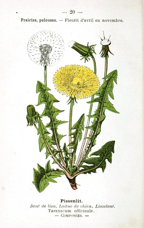 Diente de León, maleza medicinal