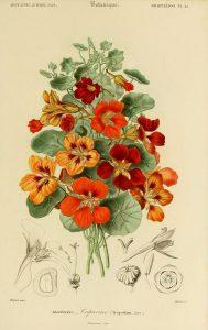 CAPUCHINA, flores comestibles
