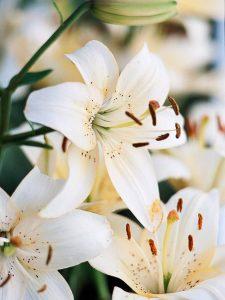 La Senescencia de las flores