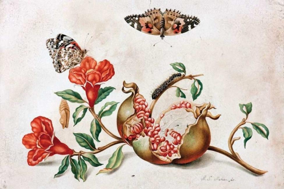 Maria Sibylla Merian – La Primera Ilustradora De Mariposas